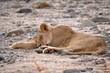 schlafende löwin lake manyanara tansania