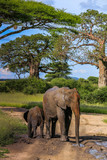 adult and baby elephant having mud bath on road - 238577474