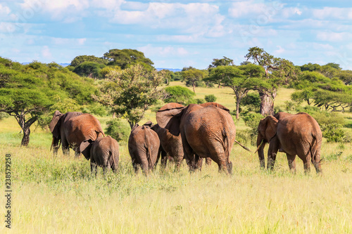 herd of elephants in africa walking away from viewer