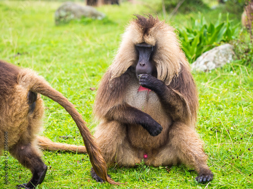 Male Gelada (Theropithecus gelada) monkey in Semien Mountains, Ethiopia.