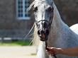 Leinwanddruck Bild - Edler ägyptischer Araber, weisses Pferd