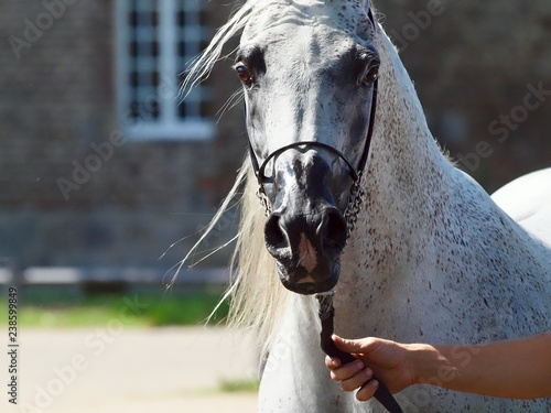 Leinwanddruck Bild Edler ägyptischer Araber, weisses Pferd