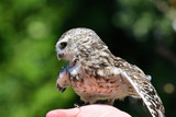 Close up of a burrowing owl (Athene cunicularia) perching in a persons hand - 238614814