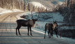 Caribou, reindeer crossing the Alaska Highway in the Yukon