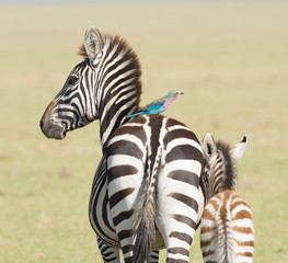 Kenya, Africa, Masai Mara reserve ,a  lilic breasted roller hitches a ride on the back of a Zebra. © 169169