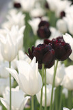 blooming white and purple tulips