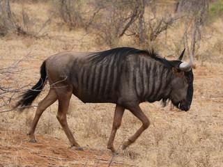 Blue Wildebeest in Kruger National Park, South Africa © Leonard Zhukovsky