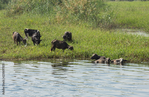 Foto Murales Rural field by river with water buffalo livestock in africa