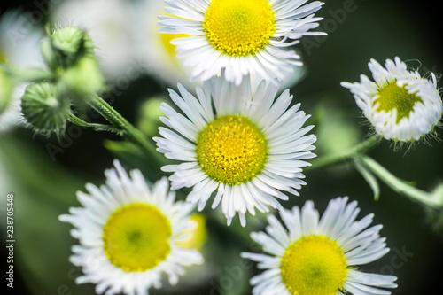 Margherite Su Sfondo Verde Di Erba Buy Photos Ap Images Detailview