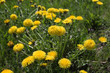 Yellow dandelions field