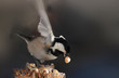 In a small beak Coal tit placed a huge fruit of peanuts.  Now  can fly