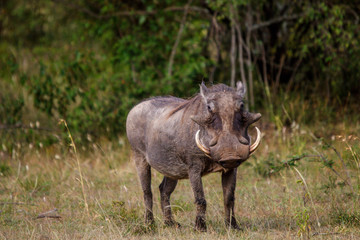 warthog in the wild © Nicky