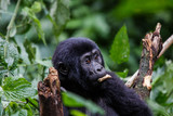 Mounting gorila baby eating - 238717803