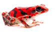 Red poison arrow frog, a tropical poisonous rain forest animal, Oophaga pumilio isolated on a white background.
