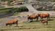 Slow motion footage of cattle grazing at high altitude in glacial Cirque de Troumouse in Pyrenees Mountains.