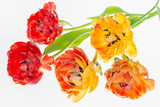Bright yellow-red tulips isolated on white background