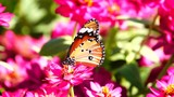 HD 1080p super slow Thai butterfly in pasture flowers Insect outdoor nature - 238764047