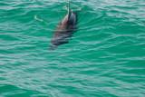 Single Dolphin in Ocean - 238773423