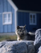 West-Greenland. A big Husky is watching us