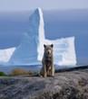 West-Greenland. Husky with Iceberg
