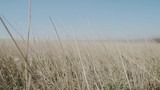 Dry grass in the wind slow motion - 238778405