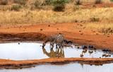 Zebras am Wasserloch in freier Wildbahn