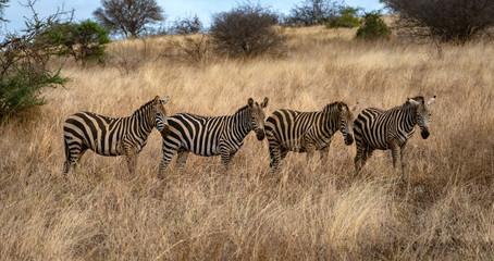 Zebra © spuno
