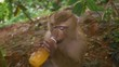 Closeup shot of a cute Crab-eating macaque monkey drinking orange juice from a bottle