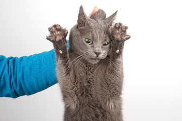 grey cat with claws released holding the man's hand by the scruff