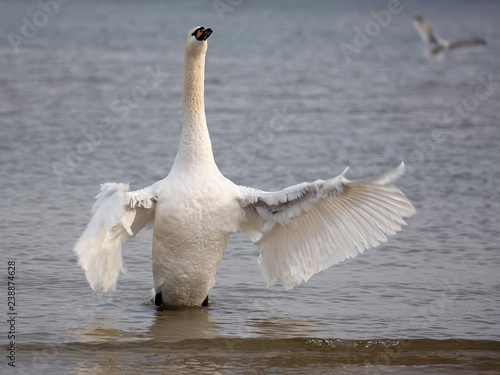 White swan in the wild