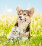Friendly Pembroke Welsh Corgi puppy hugging tabby kitten on a summer grass