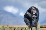 contemplating chimp - 238892049