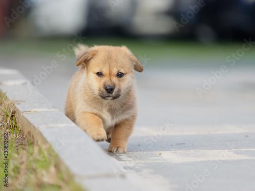 Adorable Brown Puppy Dog Running Towards You Buy Photos Ap