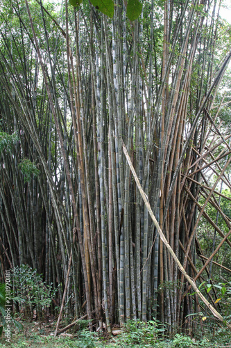 bamboo trunks in a djungle forest