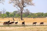 Herd of Sable Antelope walking across the dry plains in Hwange National Park, Zimbabwe