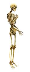 3D Rendering Human Skeleton on White © photosvac