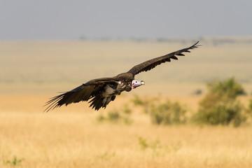White-backed vulture (gyps africanus) in flight, Maasai Mara, Kenya