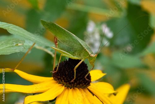 Green Katydid Grasshopper - 238964077