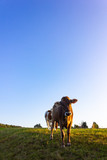 allgau cows at sunset with blue sky