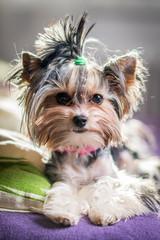 Biewer Yorkshire Terrier © stockfotocz