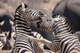 Fighting zebras in the Etosha National Park