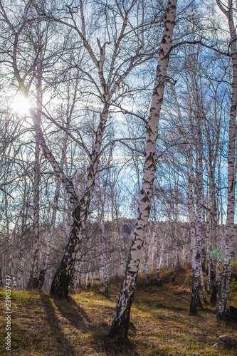 The sun shines on birch tree with branches without leaves against blue sky in autumn forest on a sunny day - 239037437