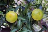 Due frutti del mandarino sull'albero con foglie