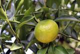 Frutto del mandarino con foglie sull'albero
