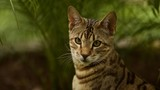 Close up Portrait of Savannah Cat, a Mixed Breed of Serval and Domestic House Cat