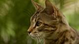 Close up of Beautiful Savannah Cat Face