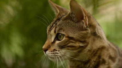 Close up of Beautiful Savannah Cat Face  © Courtney
