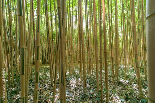 La bambouseraie de la Roque Gageac