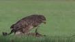 Common buzzard, buteo buteo
