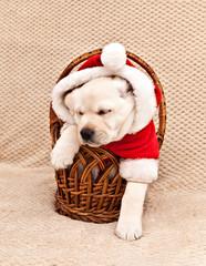 Labrador puppy dressed as Santa Claus comes out of a wicker basket © annatronova